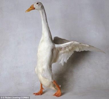 big duck
