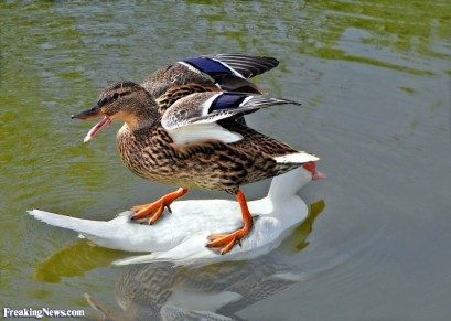 Duck-Hitching-a-Ride-in-a-Pond--94832